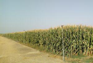 Campo de maiz con cobertura enterrada de polietileno Hidronosa